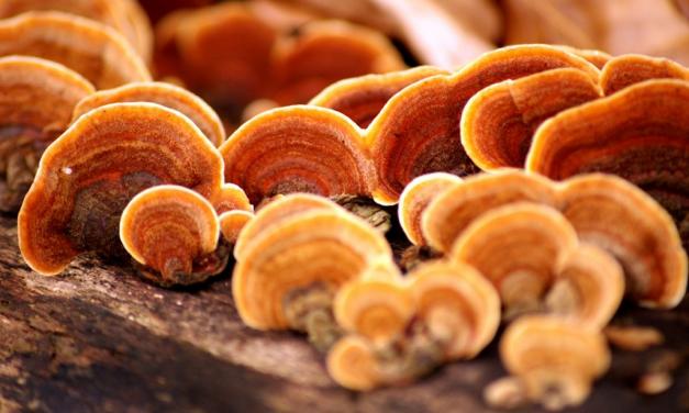 REISHI: Il fungo dalle mille virtù per il benessere psicofisico